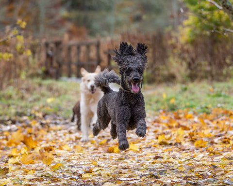 Happy dogs running in the woods getting good exercise