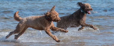 2 Golden Doodles Running In The Sea