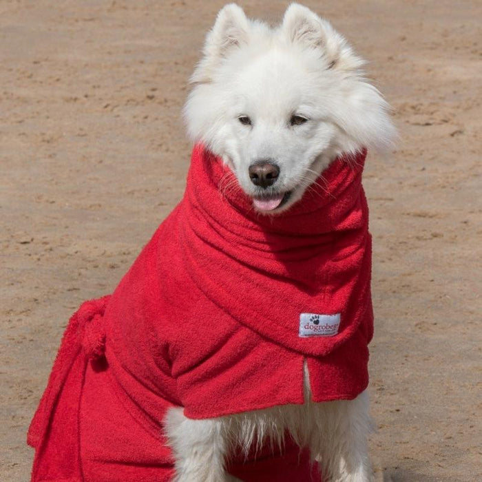 Samoyed Wearing Red Snood and Dogrobe
