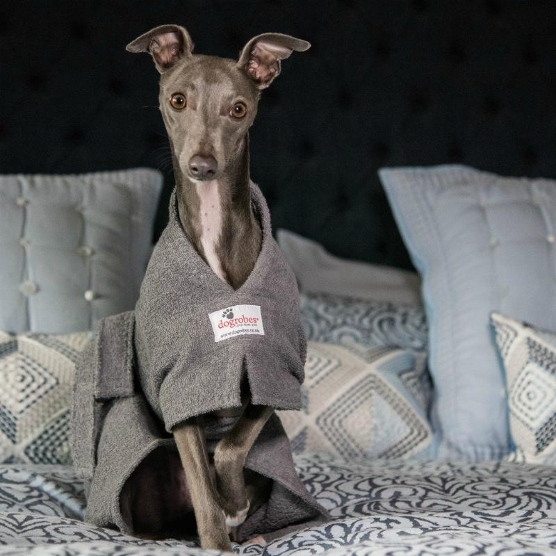 Whippet Wearing Grey Dogrobe on Bed