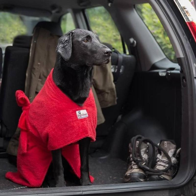Labrador Wearing Red Dogrobe In Boot Of Car