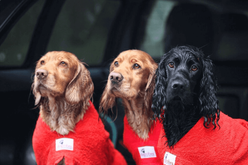 Three Cocker Spaniels Wearing Red Dogrobes