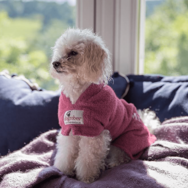 Miniature Poodle Wearing Pink Dogrobe