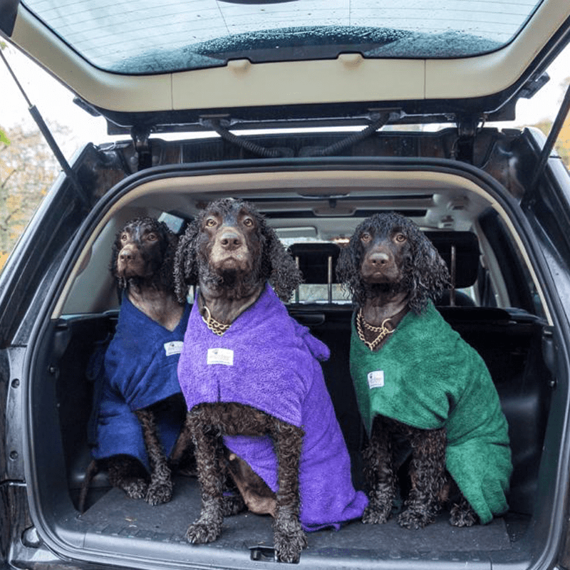 Irish Water Spaniels Wearing Purple, Green and Navy Dogrobes In Boot Of Car