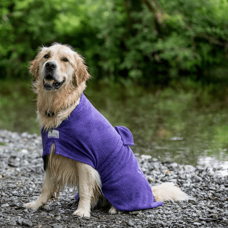 Golden Retriever Wearing Purple Dogrobe