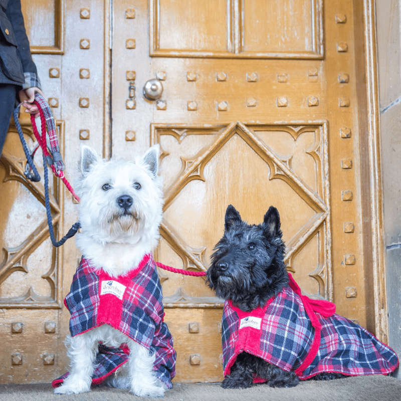 West Highland Terrier Wearing Tartan Dogrobe