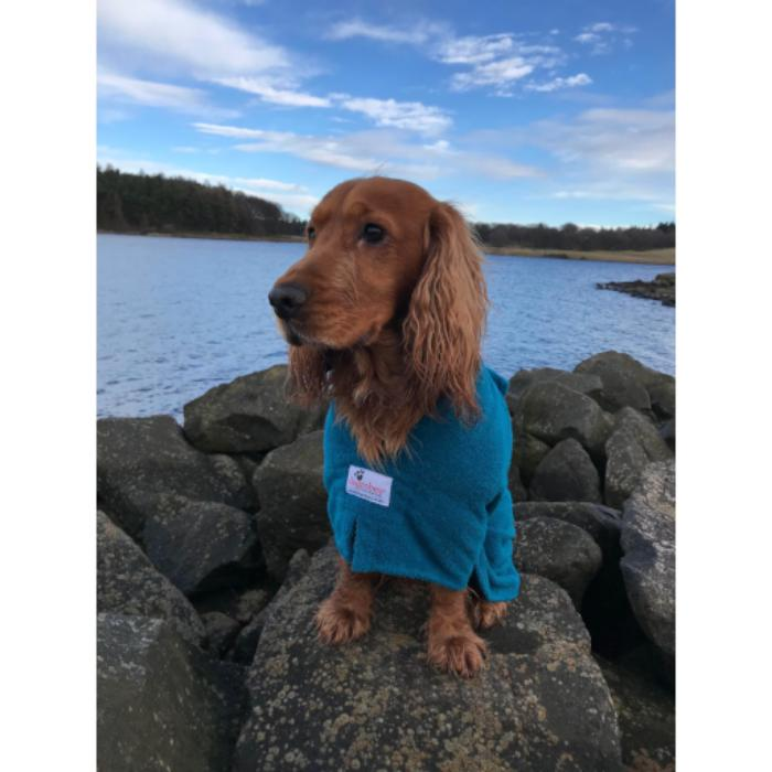 Cocker Spaniel Wearing Teal Dogrobe