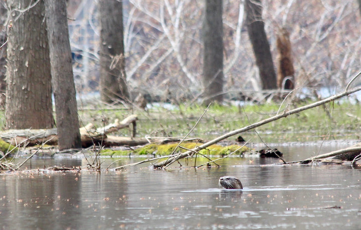otter in the st croix river