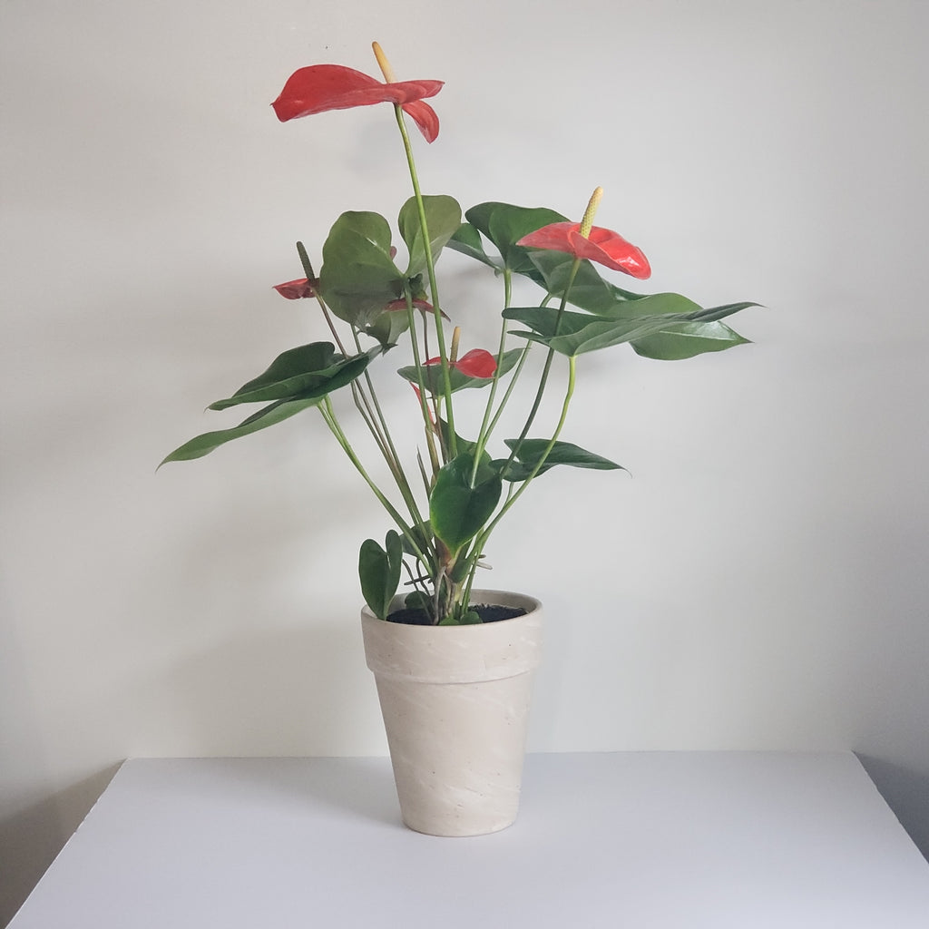 Heart Anthurium Plant