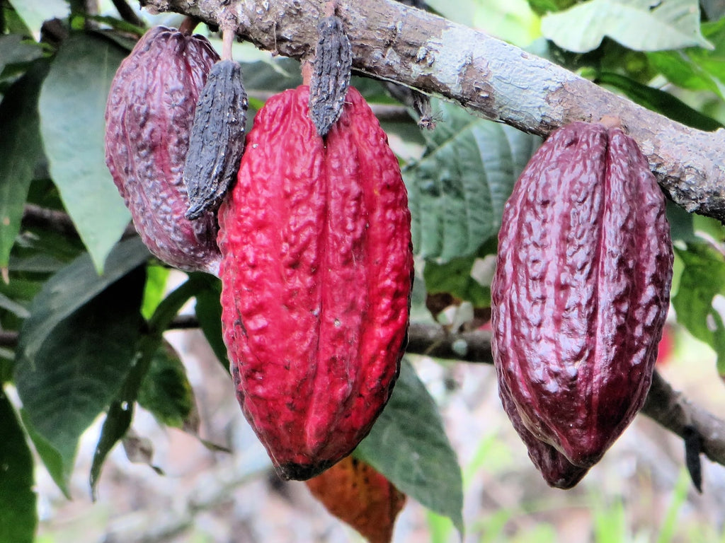 Difference between cacao and cocoa cacao pods hanging