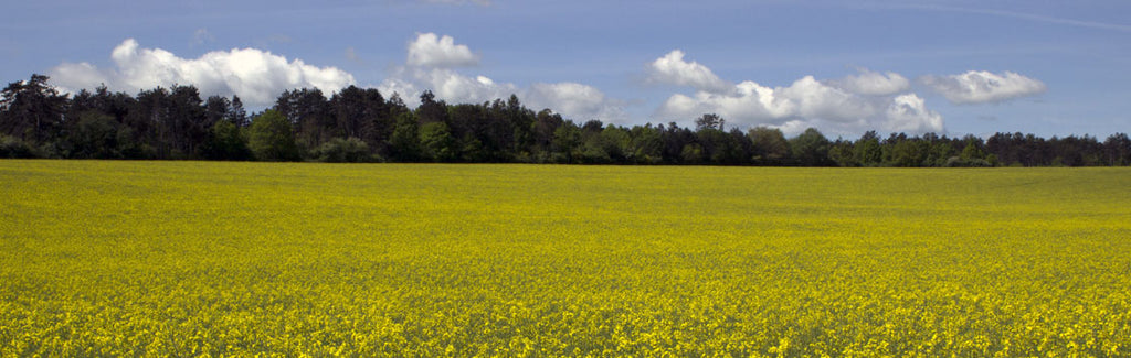 yellow large mustard fields in bloom