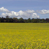 yellow mustard fields in bloom