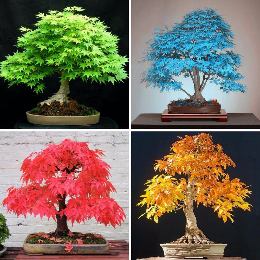 Japanese Bonsai Maple Tree Seeds - 20 Seeds
