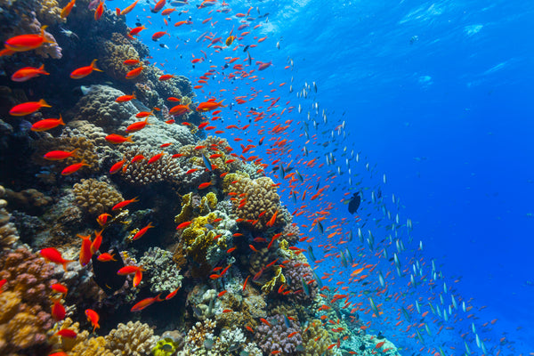 Helping Restore Coral Reefs Around the Globe: The Coral Reef Alliance