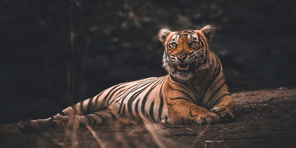 tiger lying staring teeth growl fear fight or flight response anxiety