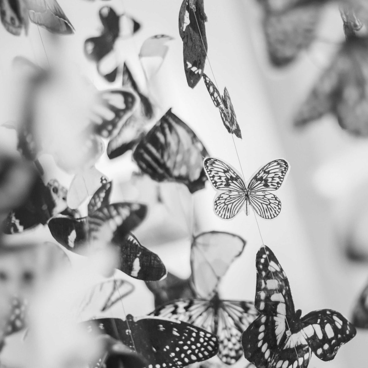 Black and white butterflies flying together