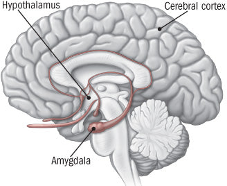 Amygdala hypothalamus cortex anxiety fear fight or flight response