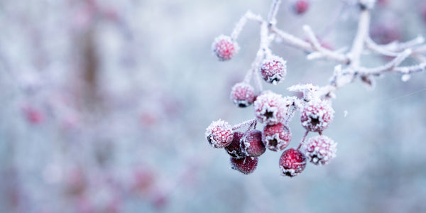 frozen red berries on a tree in winter forest