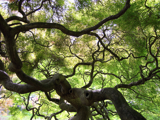 Cylburn Arboretum Japanese Maple Tree, Photo Magnet