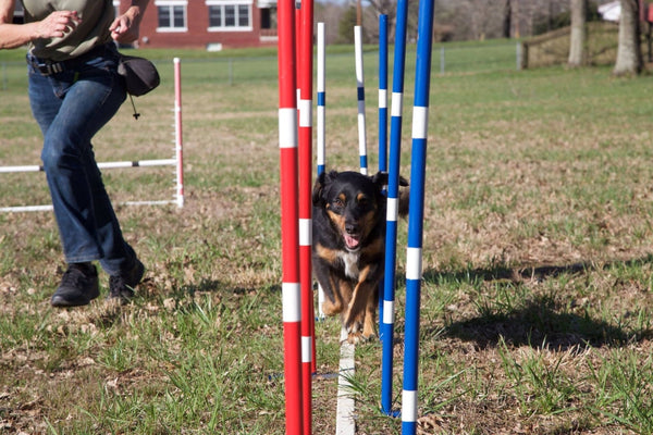Weave Poles Workshop with Ace at K9 Center
