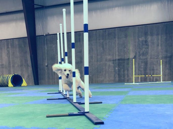 403 - Agility 3 Drop-Ins - Instructor: Ace Russell
