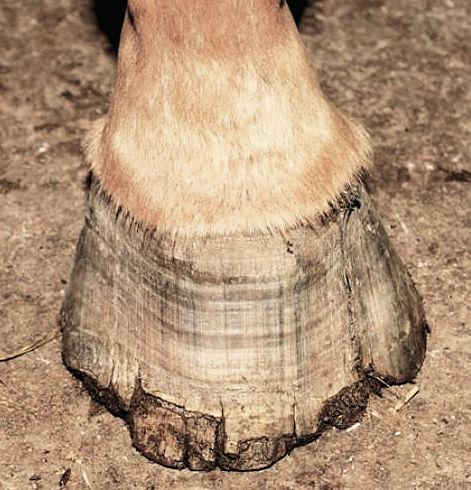 What to do about BRITTLE HOOVES