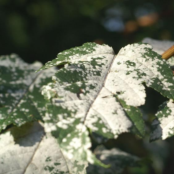 What is Powdery Mildew?