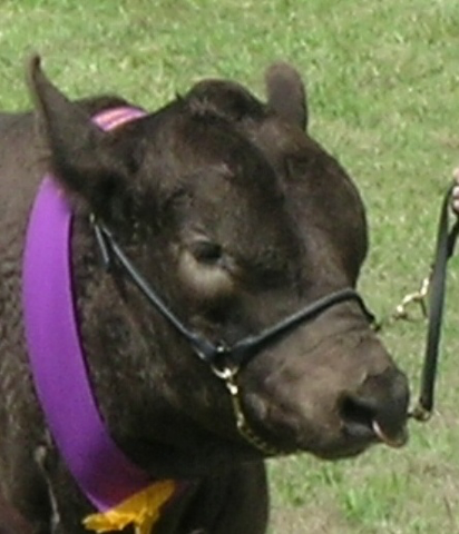 """Halter originated from a harness named """"halter"""" that's been used in caring for livestock animals."""