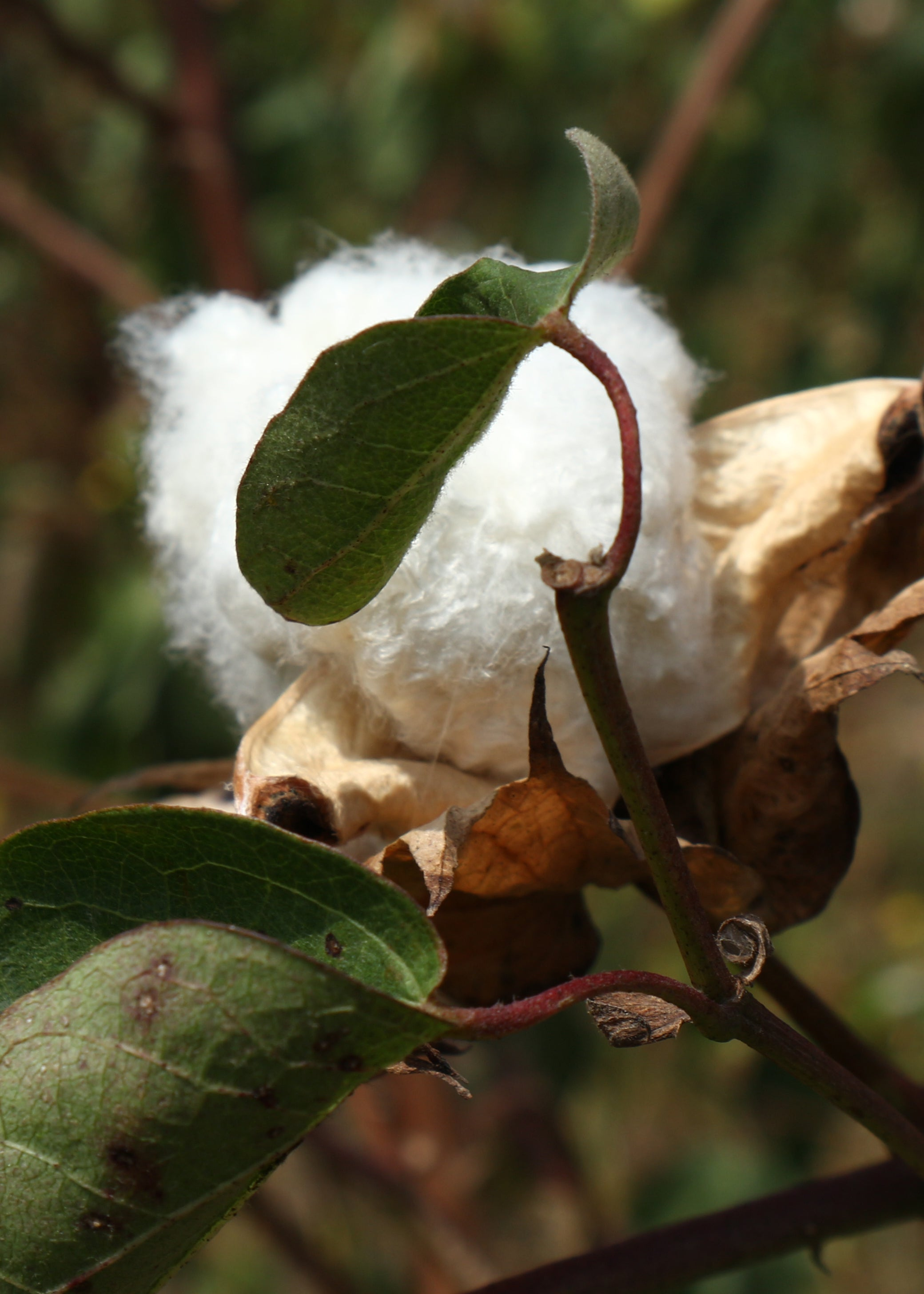 Natural ball of cotton