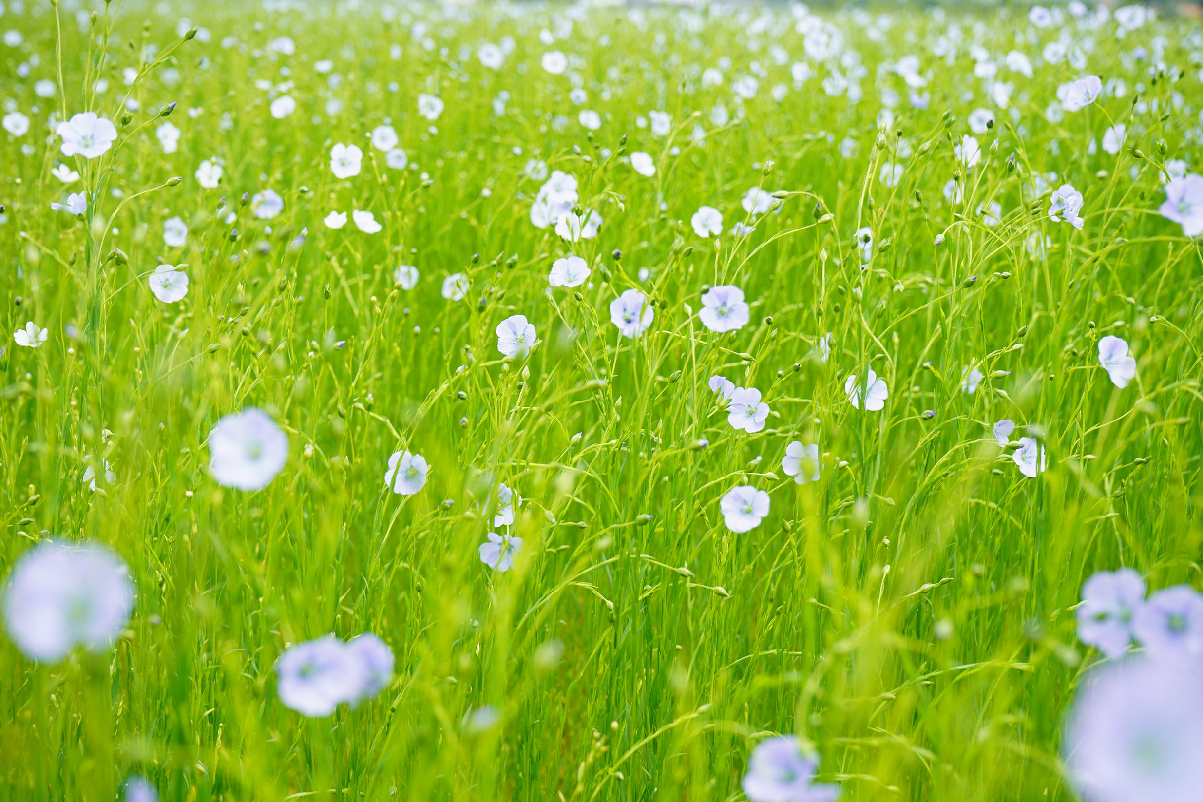 Field of flax flowers