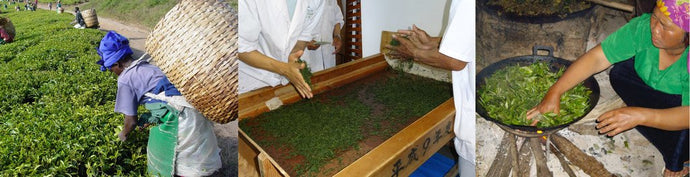 How is Tea Made? An Overview of the Stages of Tea Production