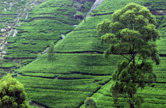 The Taste of Place: How Terroir Affects the Flavor of Tea