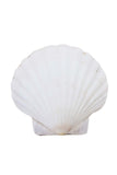 Fan Sea Shell