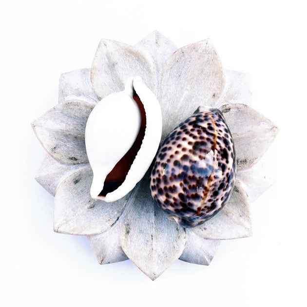 Tiger Cowrie Shells