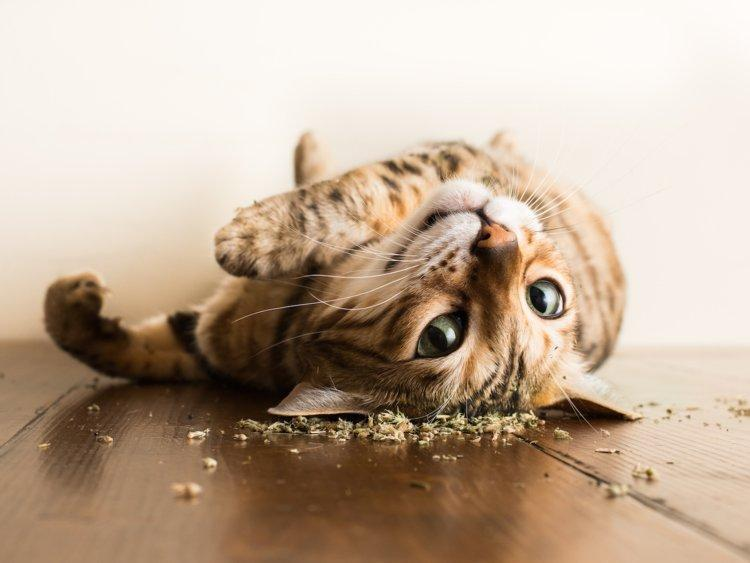 What is Catnip and why our feline friends are crazy about it?