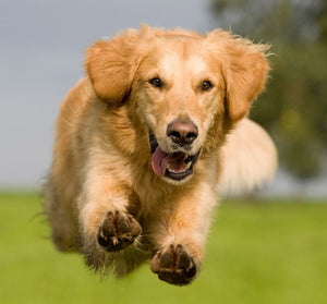 Does Fish Oil Help With Dog Allergies?