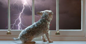 Handling Your Dog's Thunderstorm Phobia