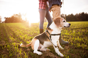 Senior beagle sitting in a field with his owners.