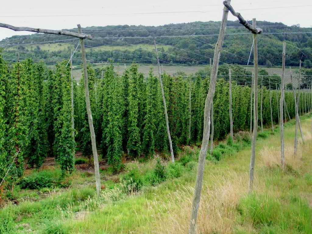 Hop Vines Growing