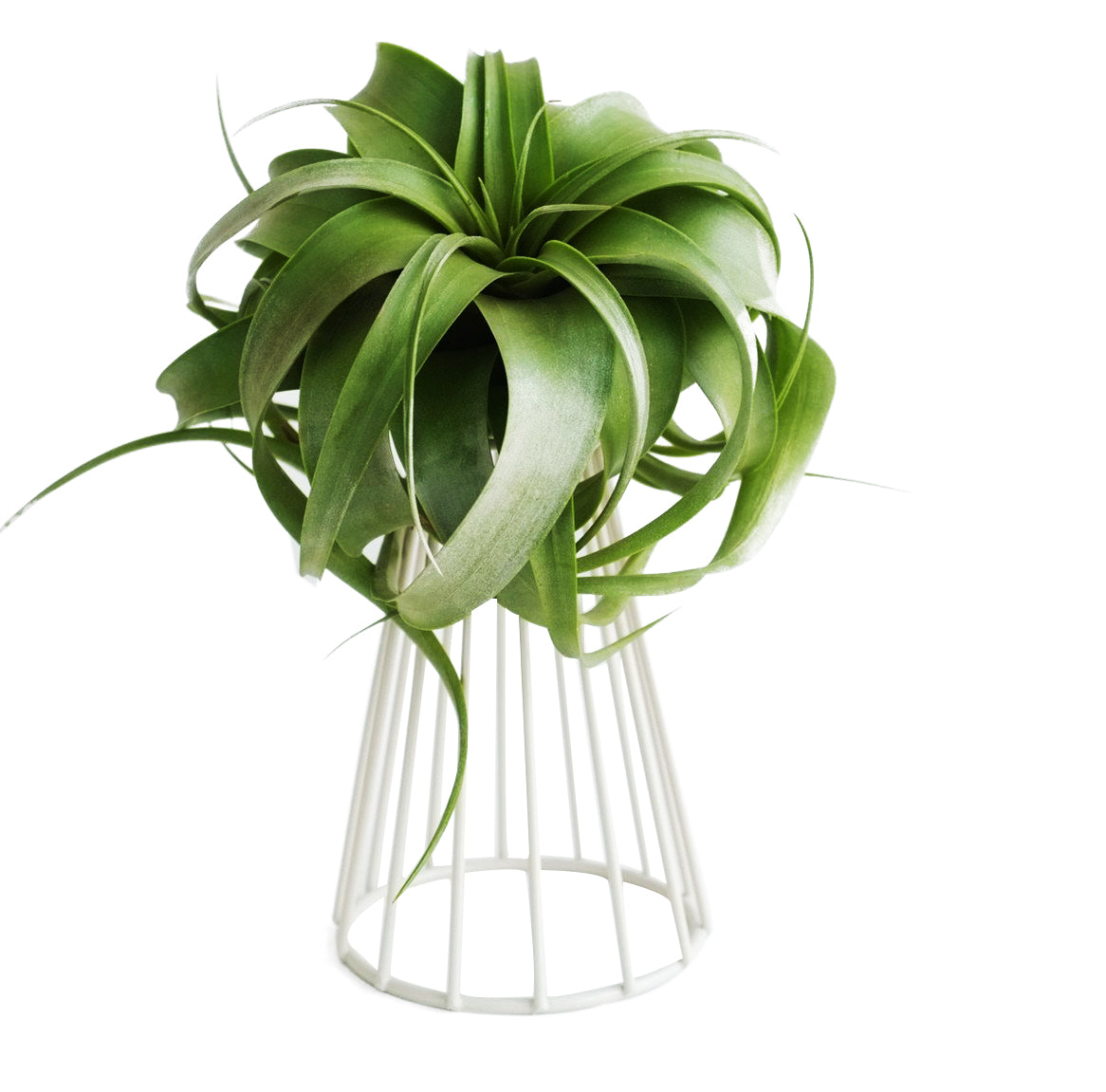 Decorative Air Plant Holder Tillandsia Air Plant Stand Big Streptophylla Stand