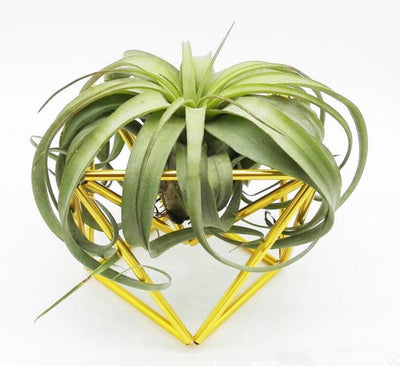 Air Plant Stand Tillandsia Ionantha Holder Air Plant Container