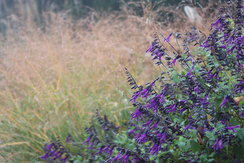 Salvia 'Amistad' constrasting nicely with the autumnal tones of Panicum 'Autumn Glory'.