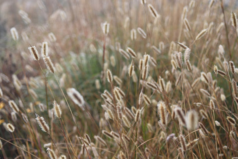 The plumes of Pennisetum 'Red Buttons' still dancing throughout the Winter months.