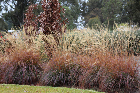 Winter hues of Miscanthus 'Adagio' with Quercus 'Pringreen' in the backgr