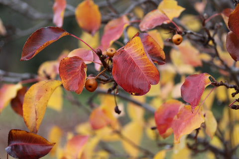 The reliable autumnal tones of Pyrus 'Capital'.