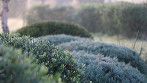 A foggy and cold July morning with remnant dew on clouded Juniperus 'Grey Owl', Olea 'Piccolo' and Philyrea angustifolia.