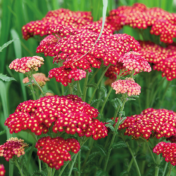 Achillea 'Cherry Queen'