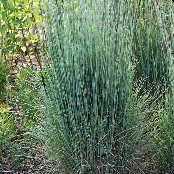 Andropogon scoparius 'Prairie Blue'