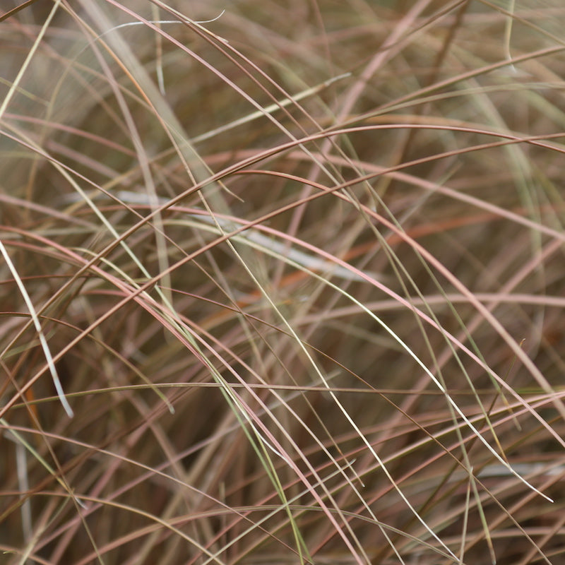 Carex comans 'Bronze Form'