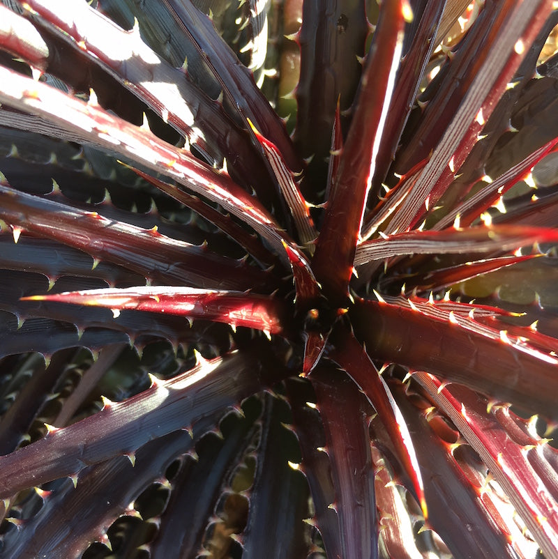 Dyckia 'Red Star'